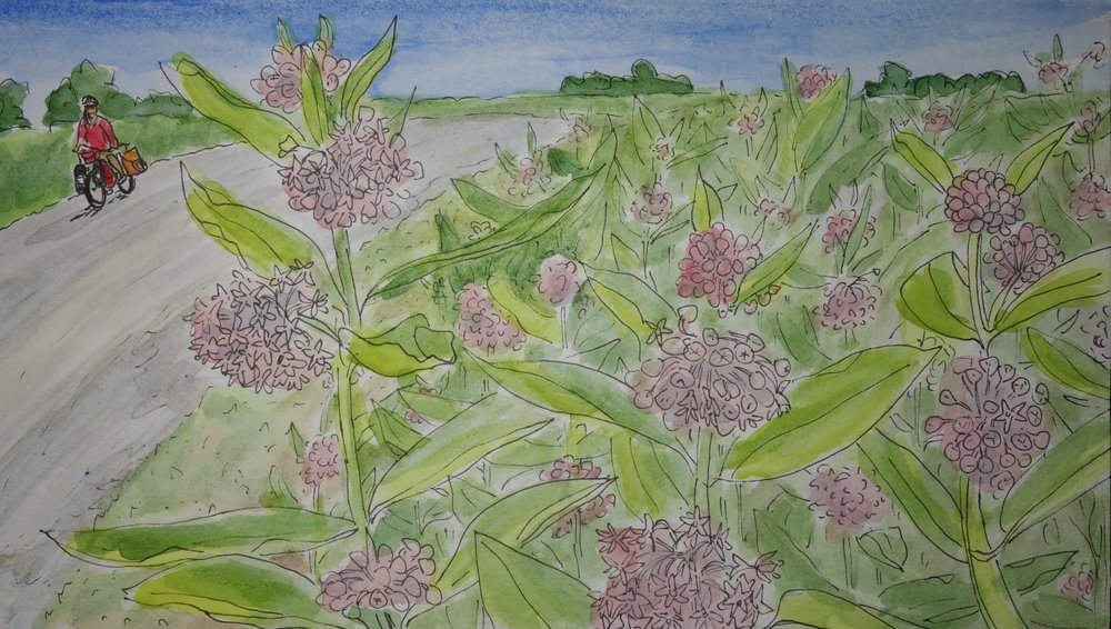 W. From Kansas to Canada I had biked just ahead of the common milkweed blooming. Turning south in Ontario, I was rewarded with the purple flowers finally revealing themselves and painting the air and my route with the smell of a sweet spring day.