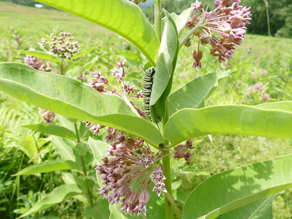 Milkweed is the only plant monarch caterpillars can eat. It is what makes them poisonous.