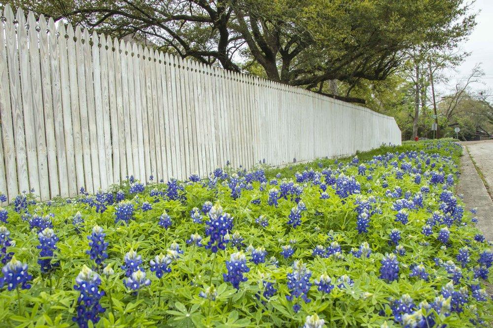 Bluebonnets (Texas State Flower)