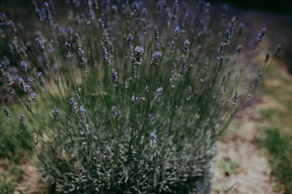 Lavender farm Auckland - wedding photographer