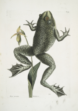 mark-catesby-frog-prints-jpocker-new-york