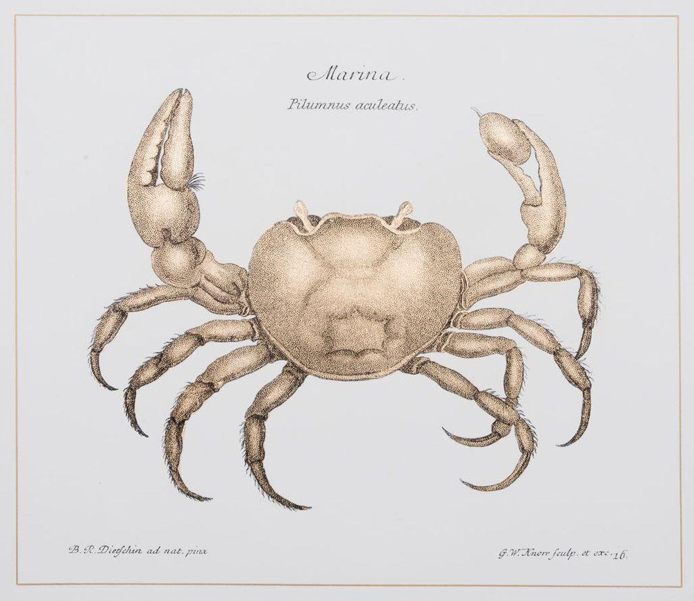 Crab (B)