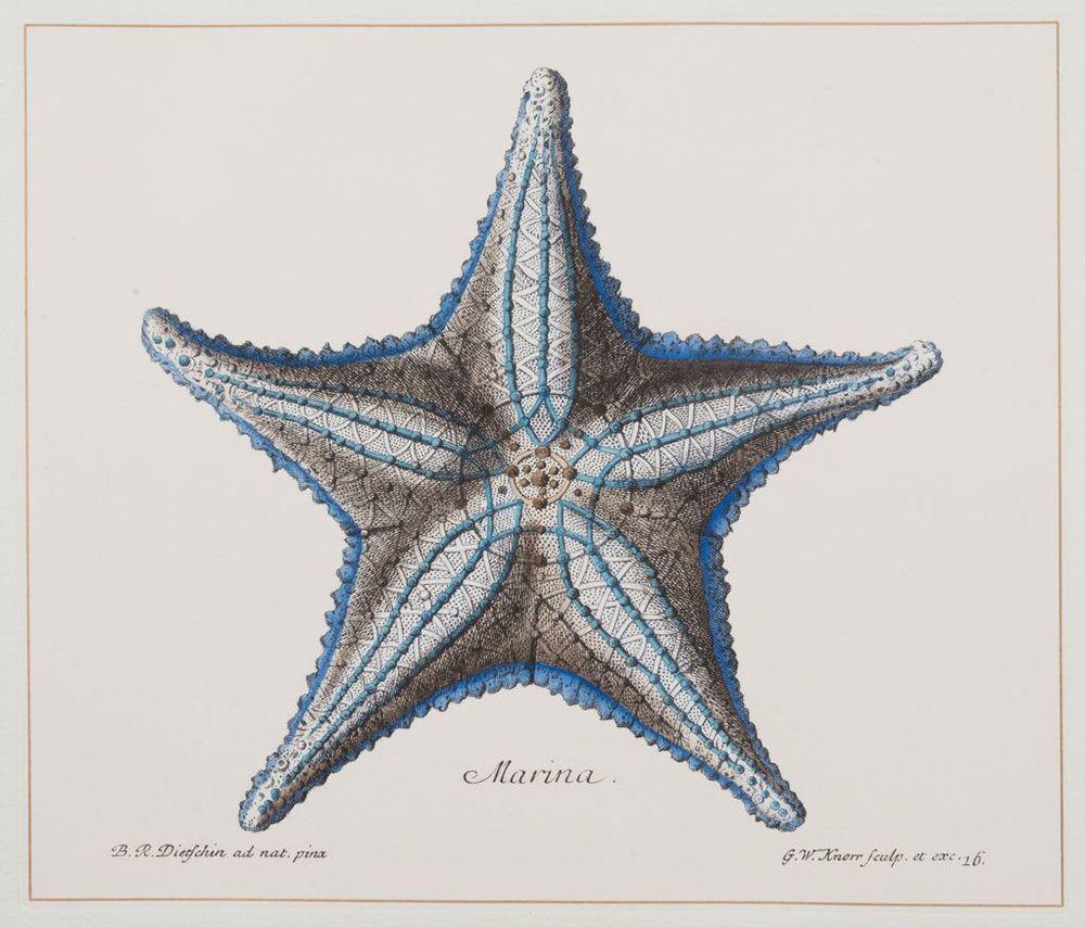 Indigo Starfish