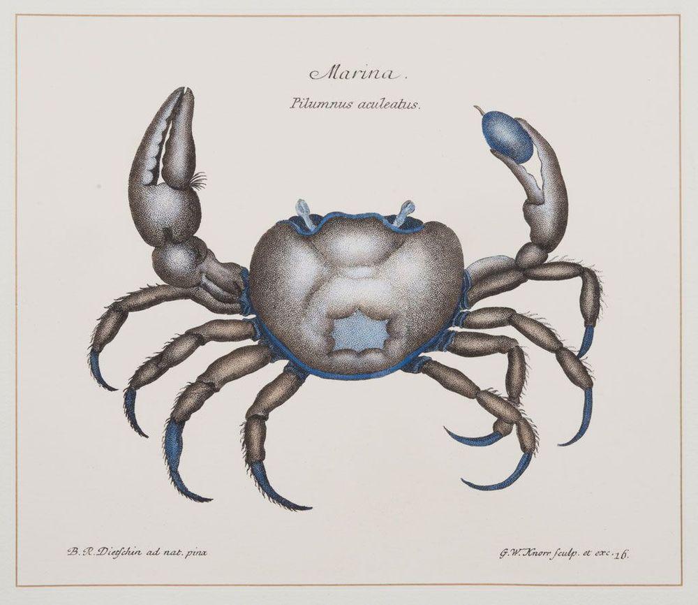 Indigo Crab