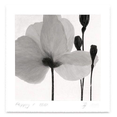 Grey Poppy 2