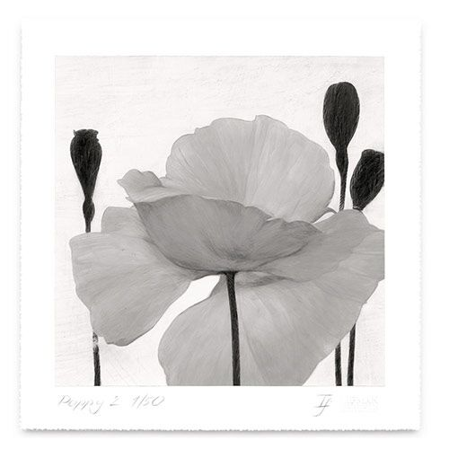 Grey Poppy 1