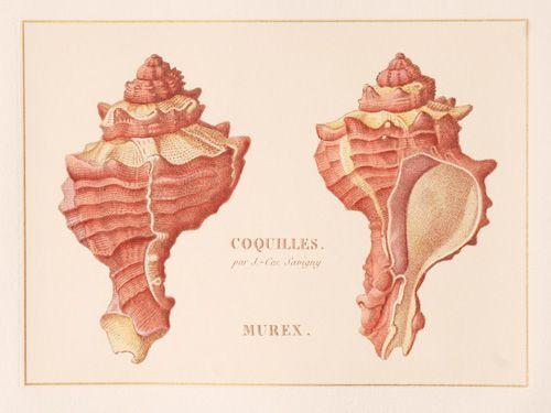 Coquilles Murex (1)