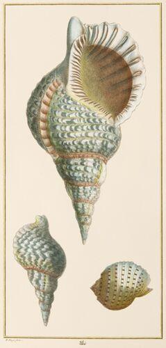 Seba Vertical Shells (A)