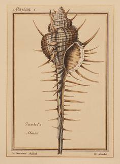 Marina 1, Troschel's Murex