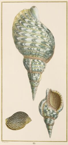 Seba Vertical Shells (B)