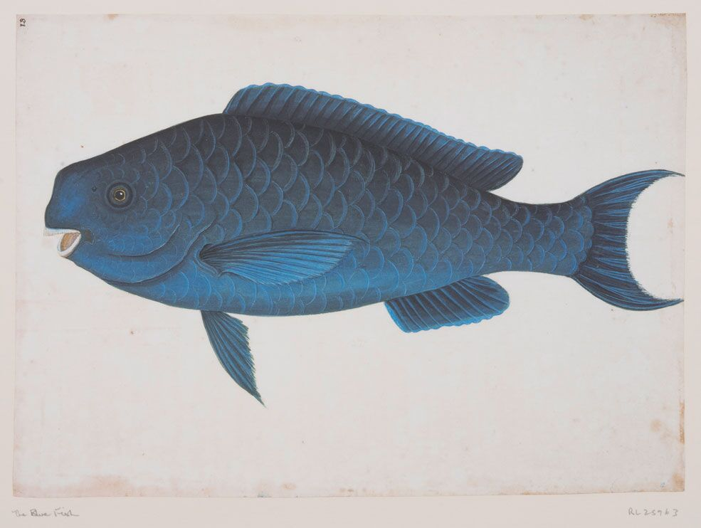 The Blue Fish - RL25963