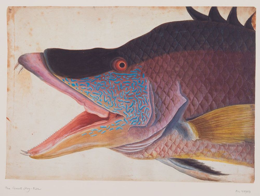 The Great Hog Fish - RL25959