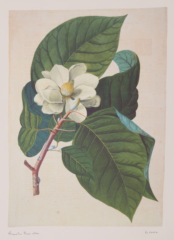 Magnolia Flare - RL26084