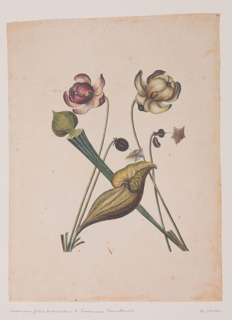 Sarracena Foliis - RL26022