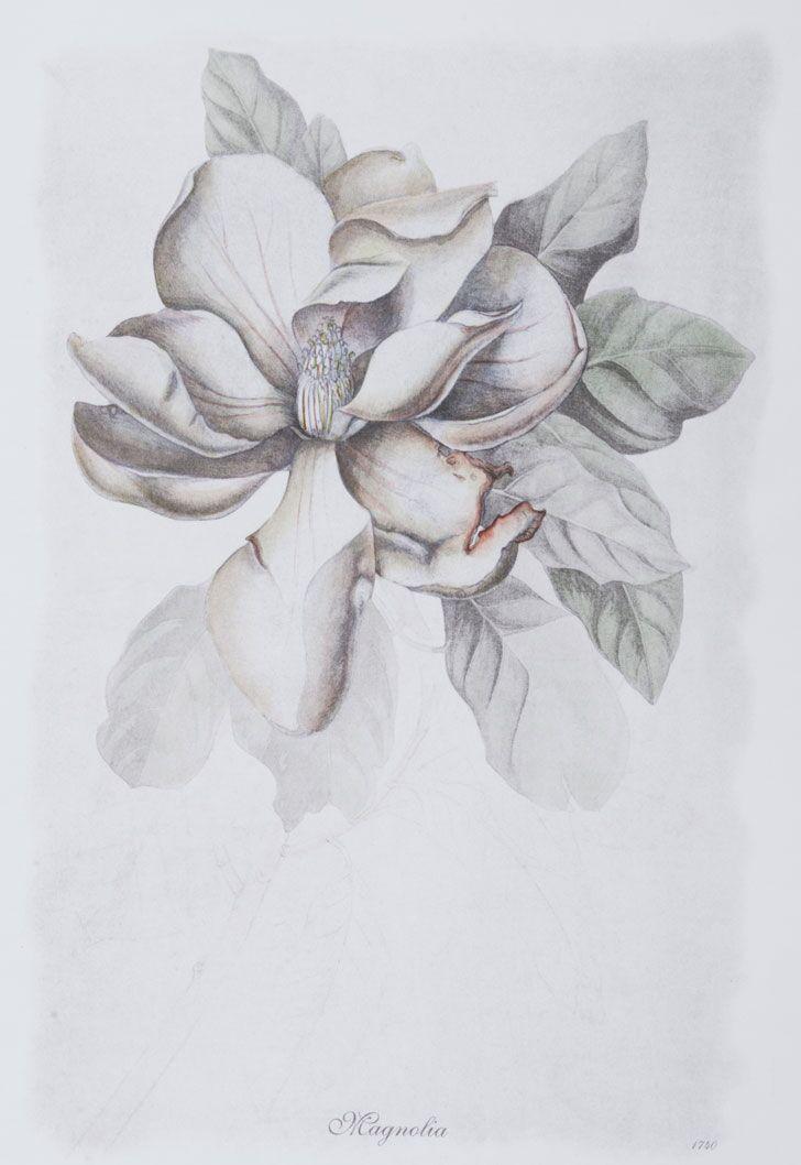 Bulb Botanicals, Magnolia 1