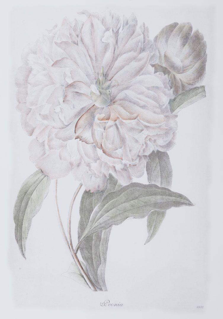 Bulb Botanicals, Peonia 3