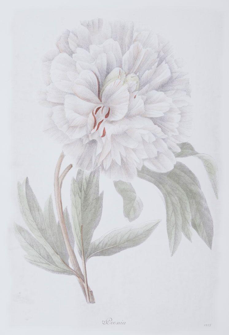 Bulb Botanicals, Peonia 4