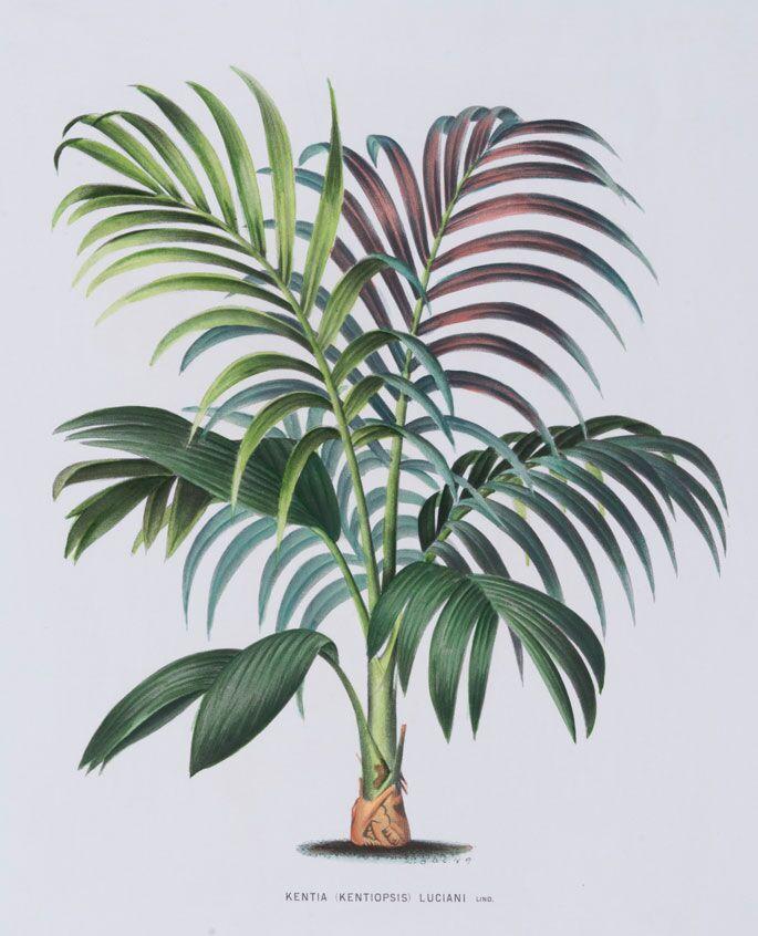 Thrinax Darbadensis