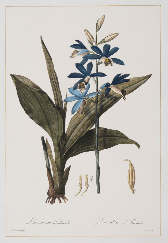 Limodorum, Redoute