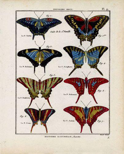 Butterfly Specimen Series (e)