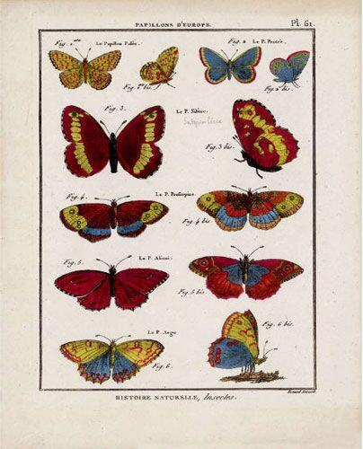 Butterfly Specimen Series (f)