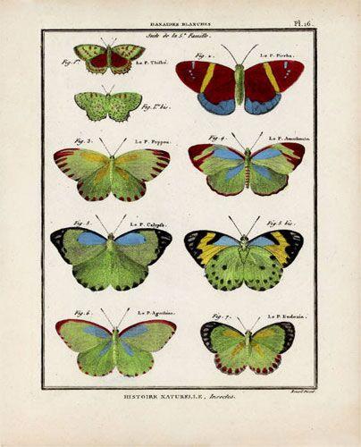 Butterfly Specimen Series (c)