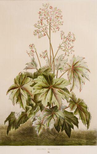 Begonia Series, 3