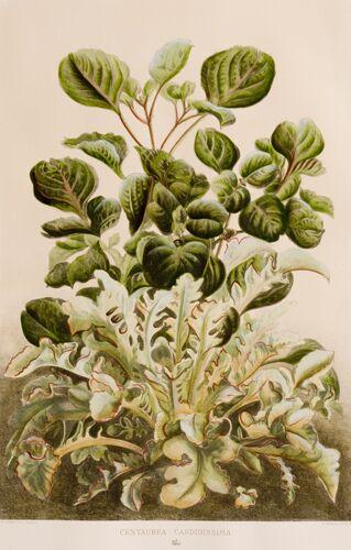 Begonia Series, 4