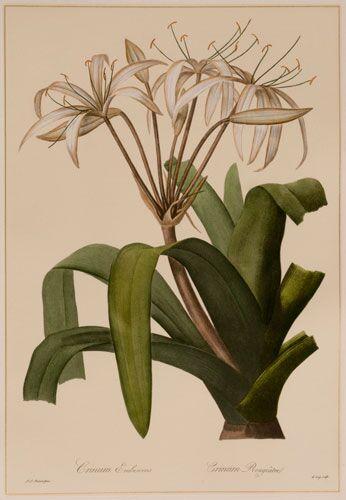 Redoute Crinum Erubescens (A)