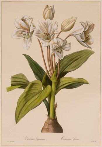 Redoute Crinum Erubescens (B)