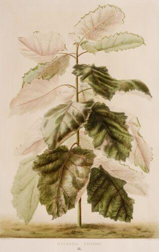 Begonia Series, 1