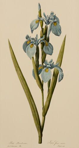 Redoute Iris (B)