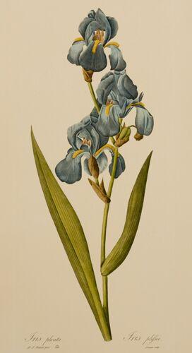 Redoute Iris (A)