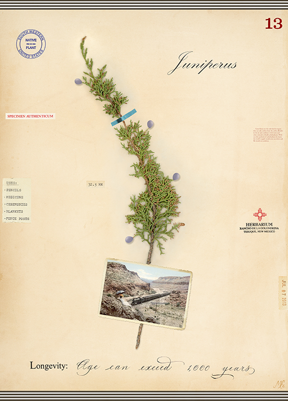 Southwest Juniper