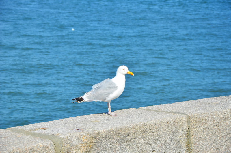 seagull on castle island  (brian mclean)
