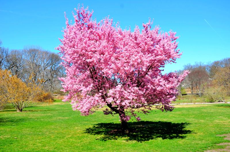 cherry blossoms, arboretum  (sonya kovacic)