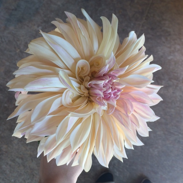 Gratuitous cafe au lait dahlia photo.  Because it's beautiful and now that it's fall, they feel just a bit more seasonally appropriate to me.