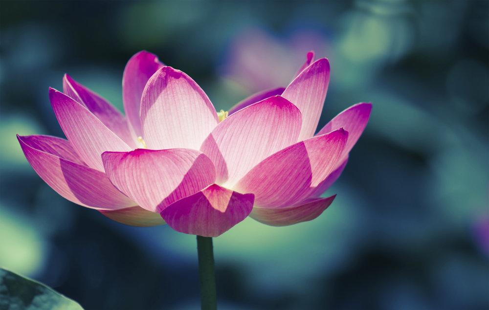 lotus_photo.jpg