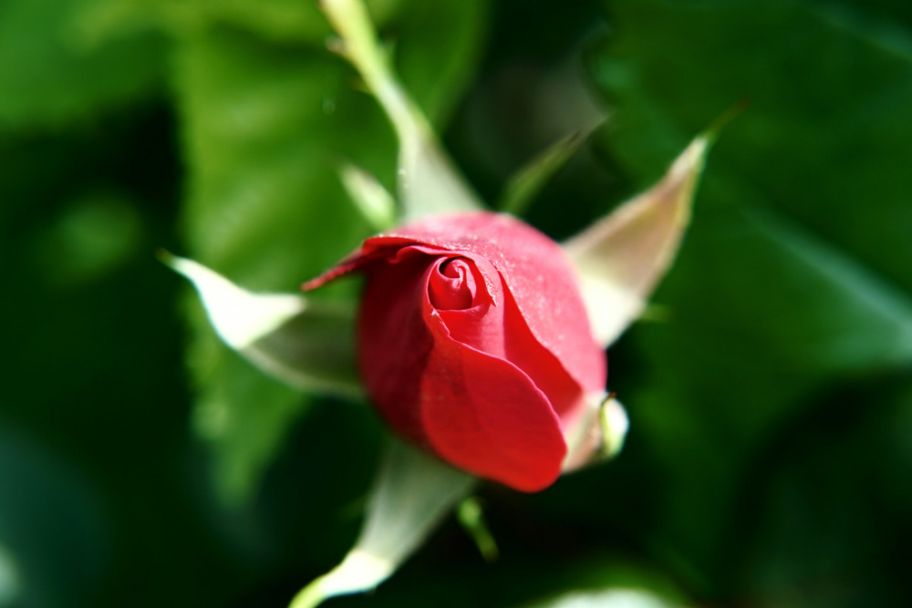 """  Some people are always grumbling because roses have thorns, I am thankful that thorns have roses.""   Alphonse Karr"