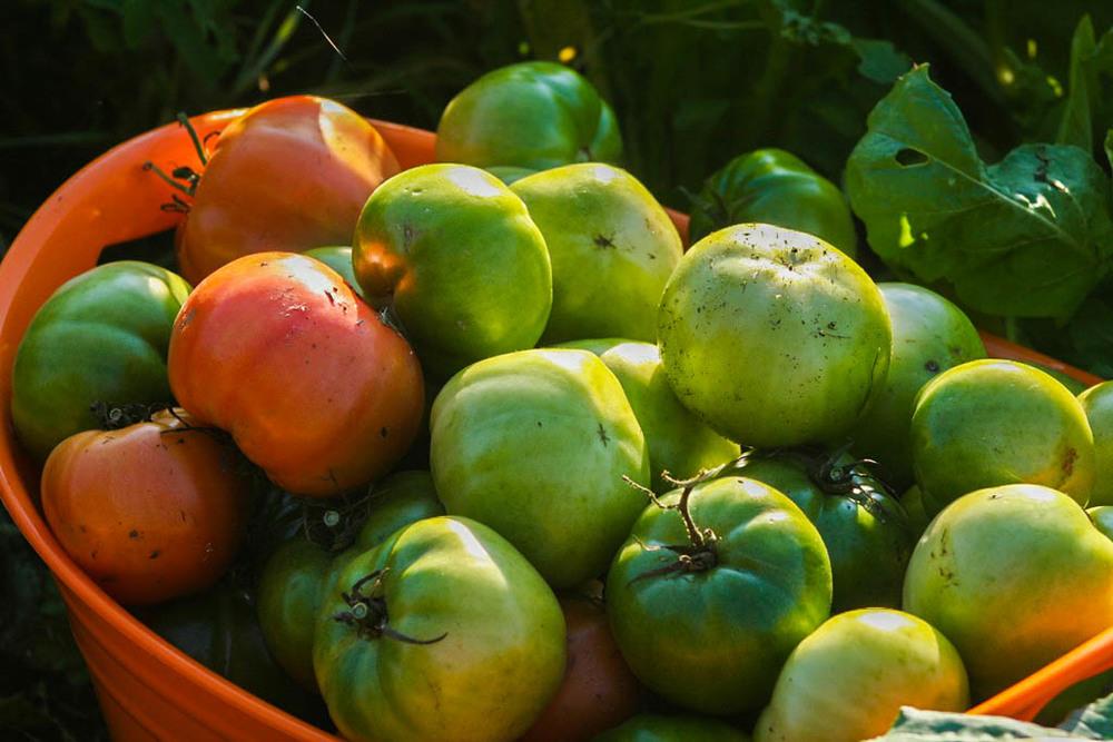 Green Tomatoes-2.jpg