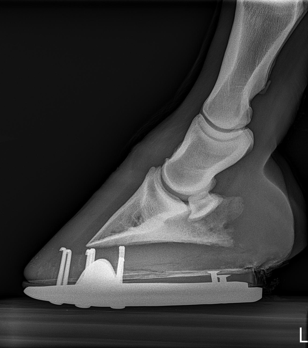 lateral radiograph of horse's foot to show angles and shoe placement for the farrier