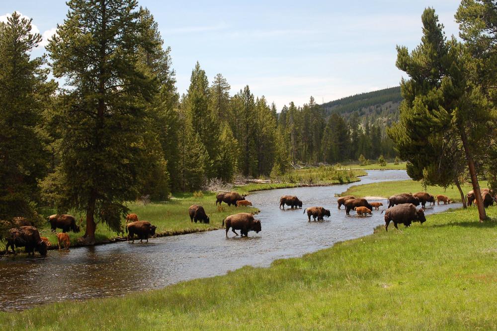 Bison Bison Bison Crossing