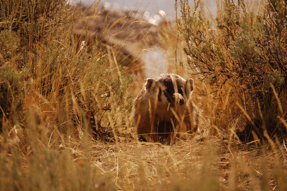 Badger in the Lamar Valley