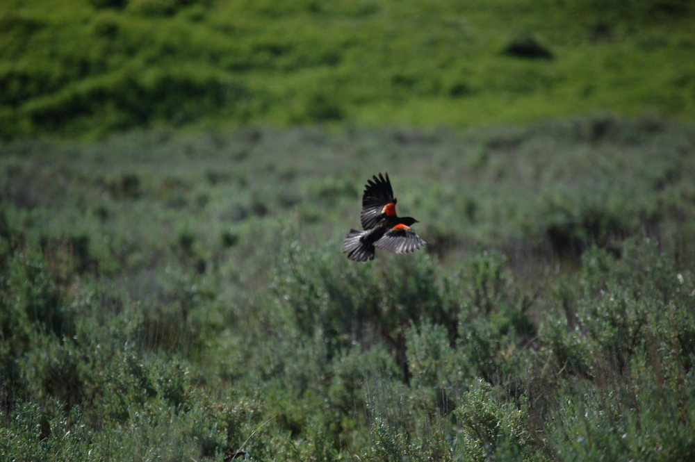 Red-winged Blackbird in the Lamar Valley
