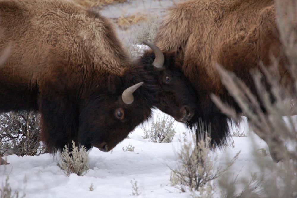 Bull Bison Battle