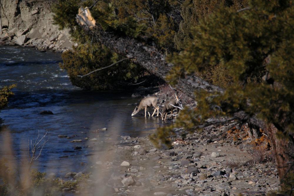 Mule Deer on the River