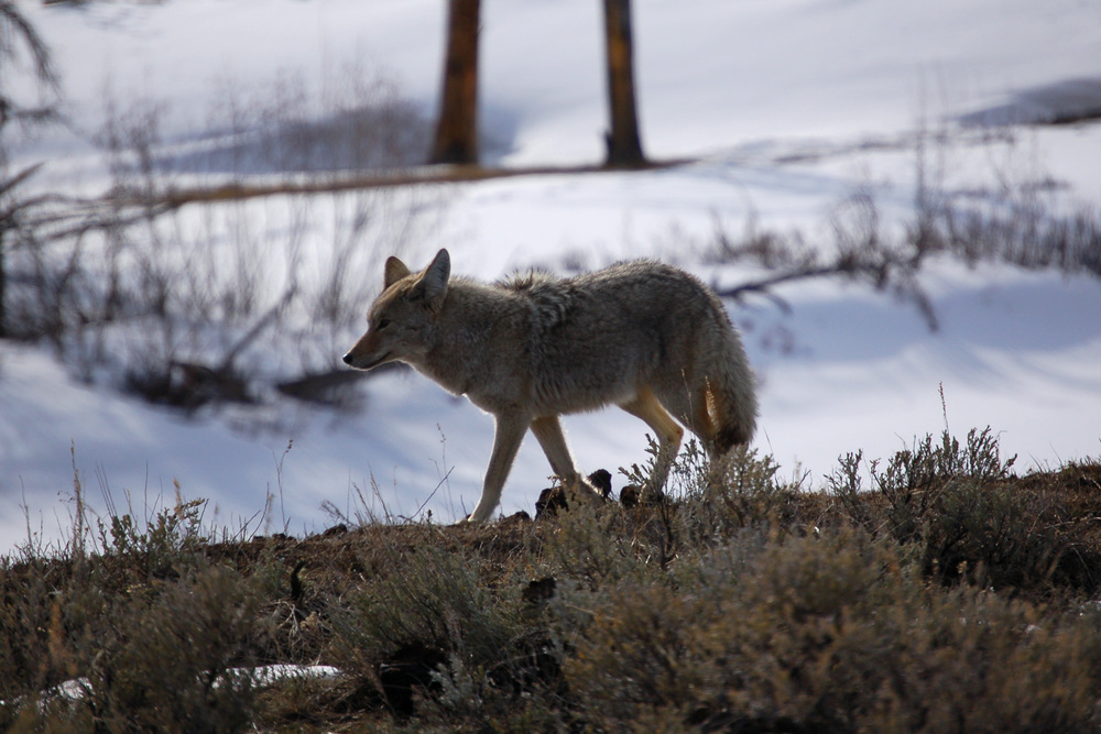 Coyote, The Trickster