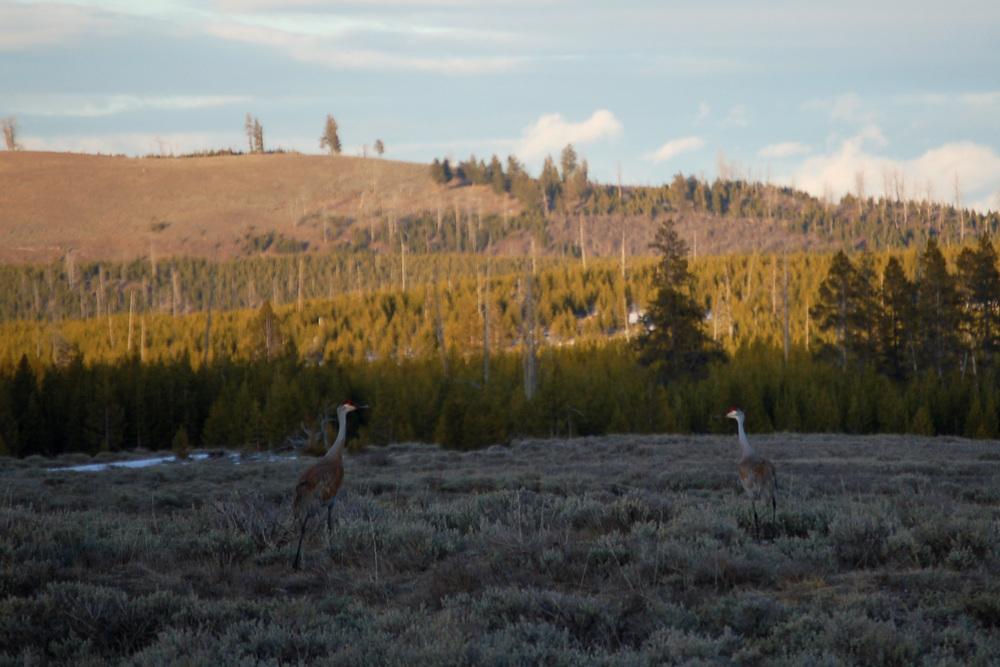 Sandhill Cranes in Yellowstone