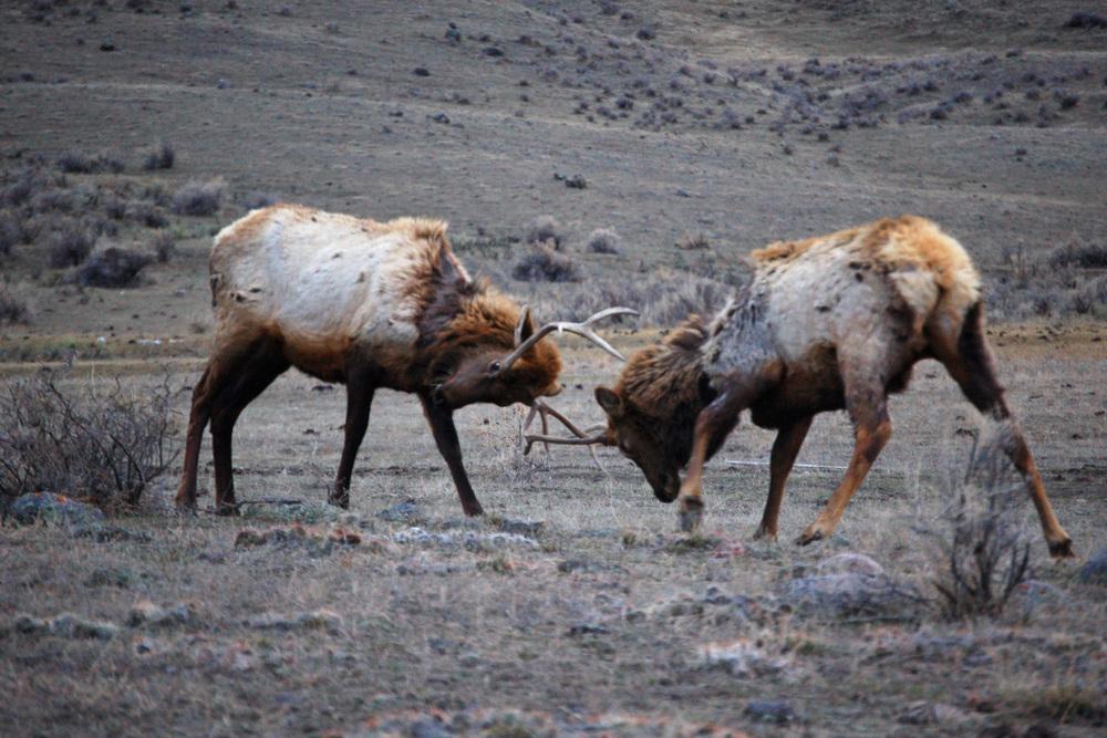 Bull Elk Battle