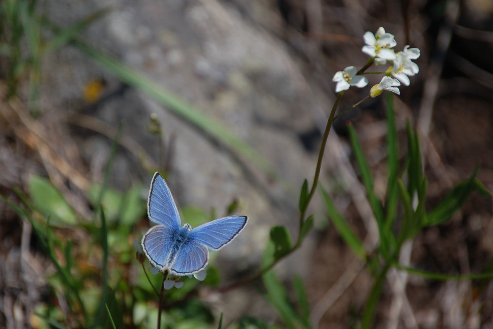 Butterflies and Wildflowers in Yellowstone National Park